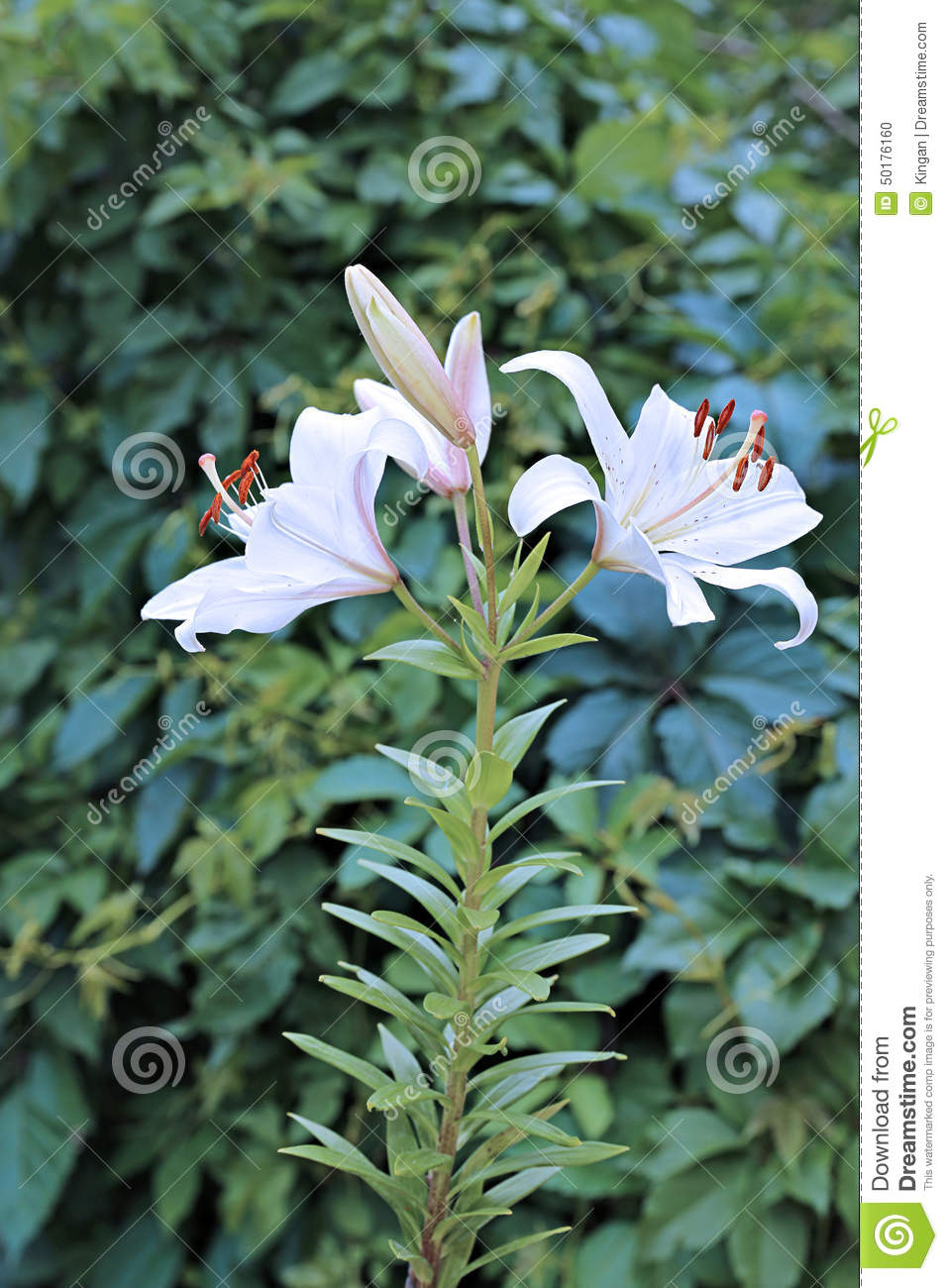 Many flowers and buds of white lilies stock photo image of allergy royalty free stock photo izmirmasajfo
