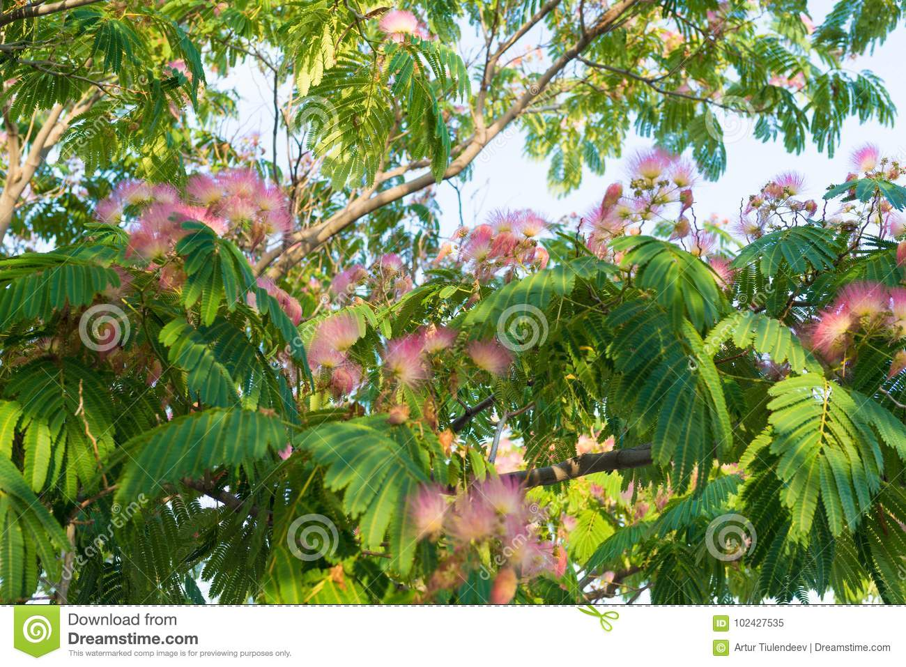 Many Fluffy Pink Flowers On The Tree Stock Image Image Of Blossom