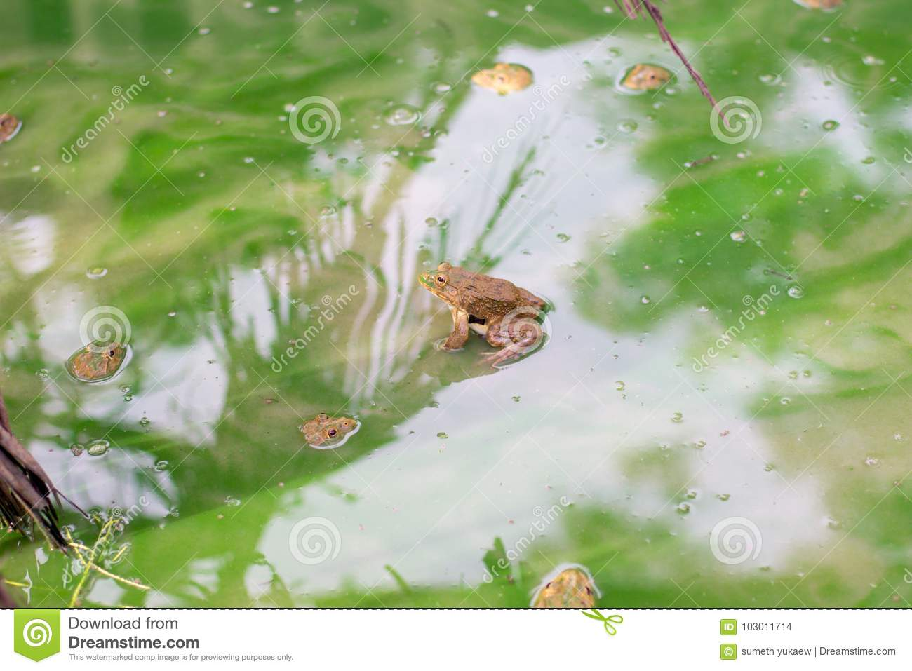 Many frog on the water in the cement block , Bull frog on a log