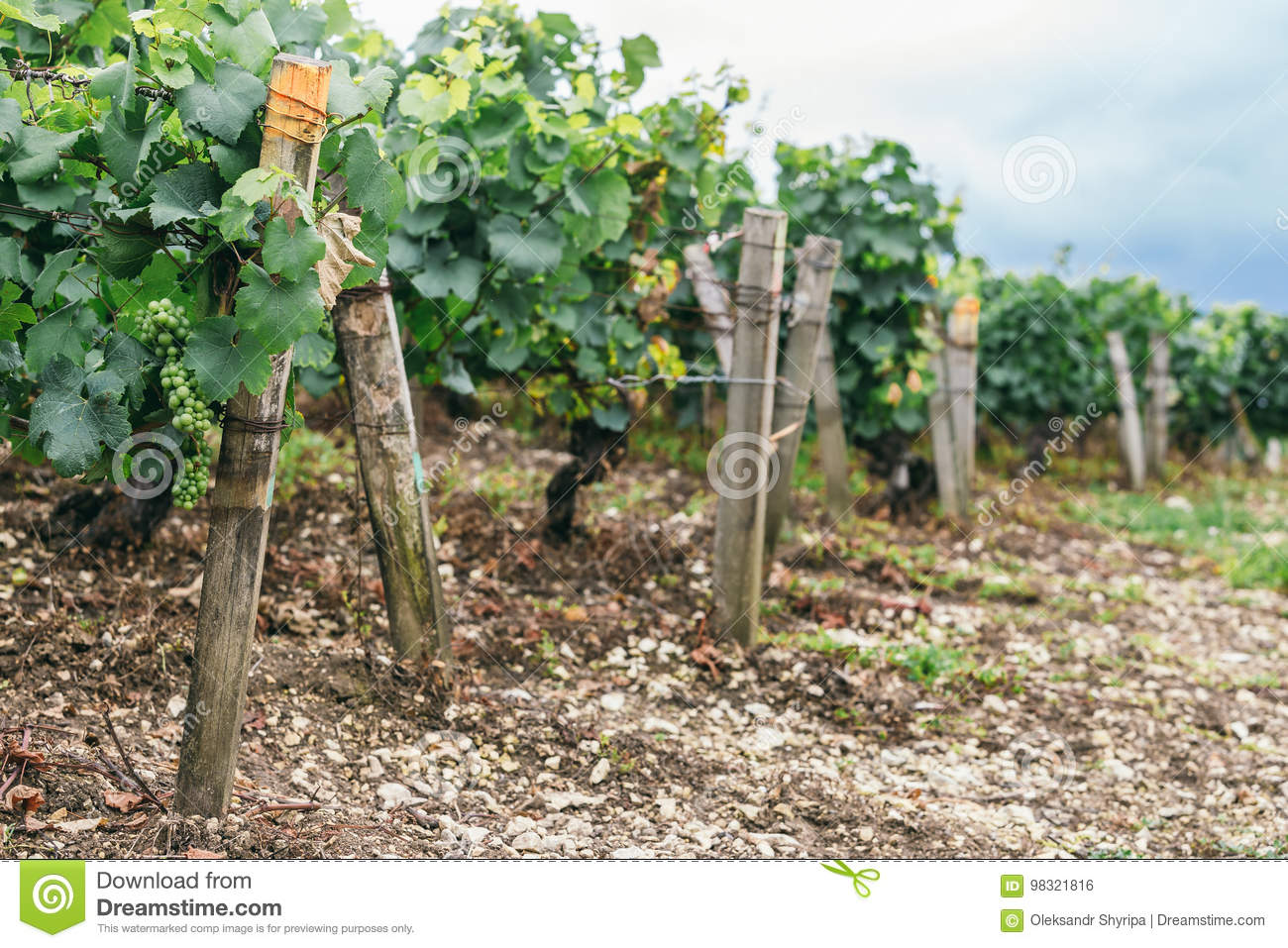 Many Grape Bushes Are Tied Up Stock Photo Image Of Famous