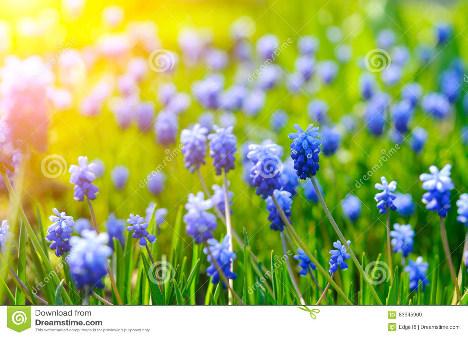 Many Grape Hyacinth Or Muscari Latifolium Botryoides Flower Bulbs
