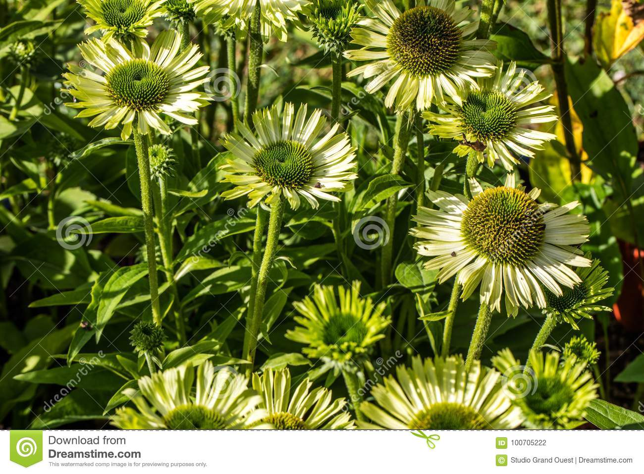 Many green flowers of jewel Echinacea in perennial garden