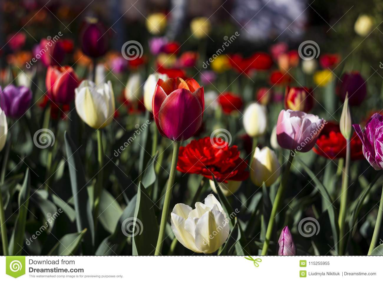 Many Kinds Of Tulips In The Garden Red White Pink Flowers Stock