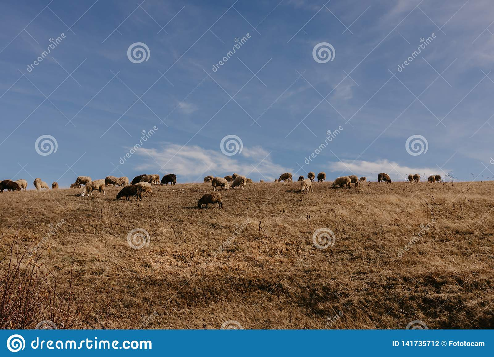 Many lambs in the meadow