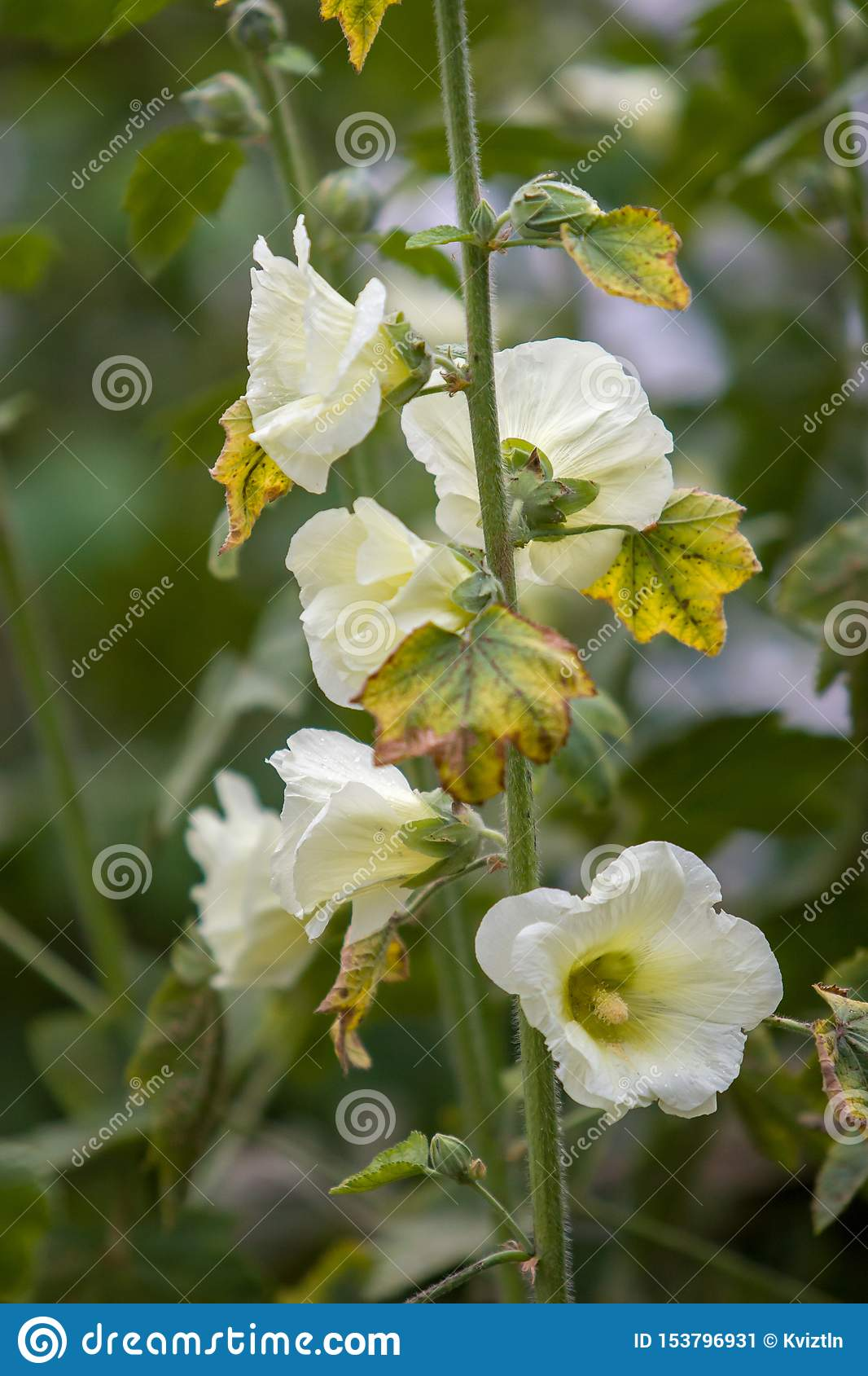 Many large white flowers like bells on one stem. Vertical frame. Selective focus.