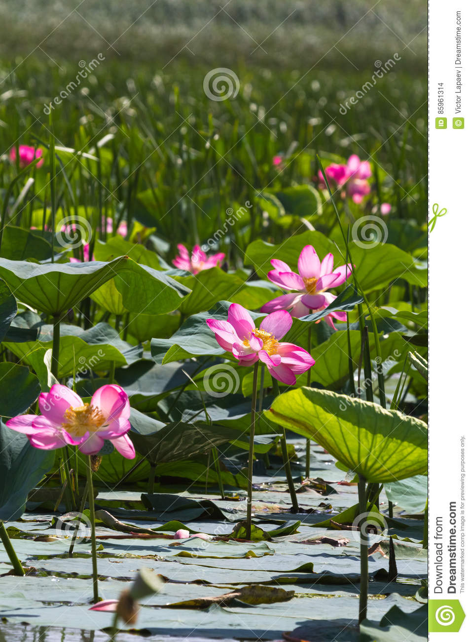 many of lotus flower pink miracle russia stock photo image of