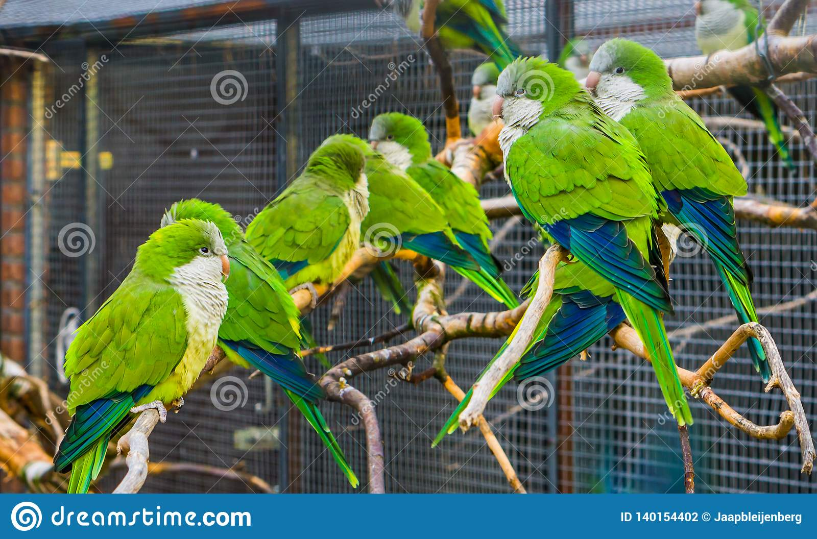 Many Monk Parakeets Sitting Together On Branches In The Aviary Popular Pets In Aviculture Tropical Birds From Argentina Stock Photo Image Of Conure Bird 140154402