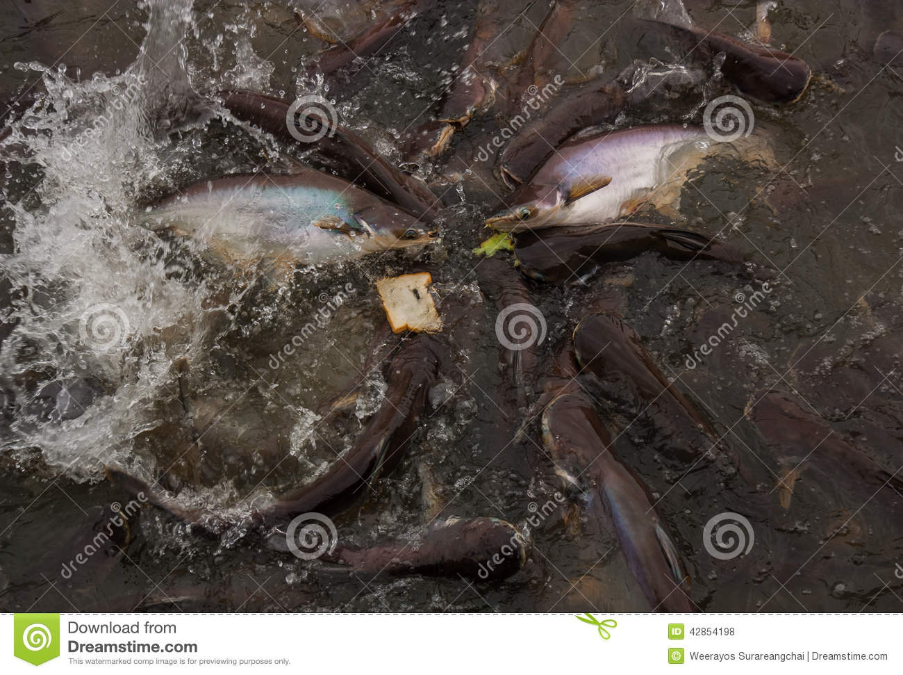 Many pangasiidae fish in pond stock photo image 42854198 for Fish suitable for small pond