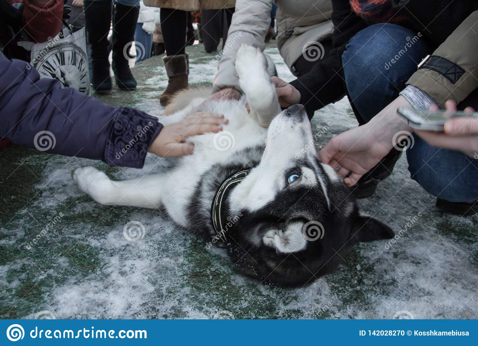 People stroking husky