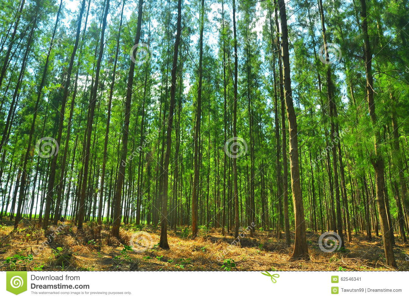 The Many Pine Trees As A Cash Crop Stock Photo Image 62546341
