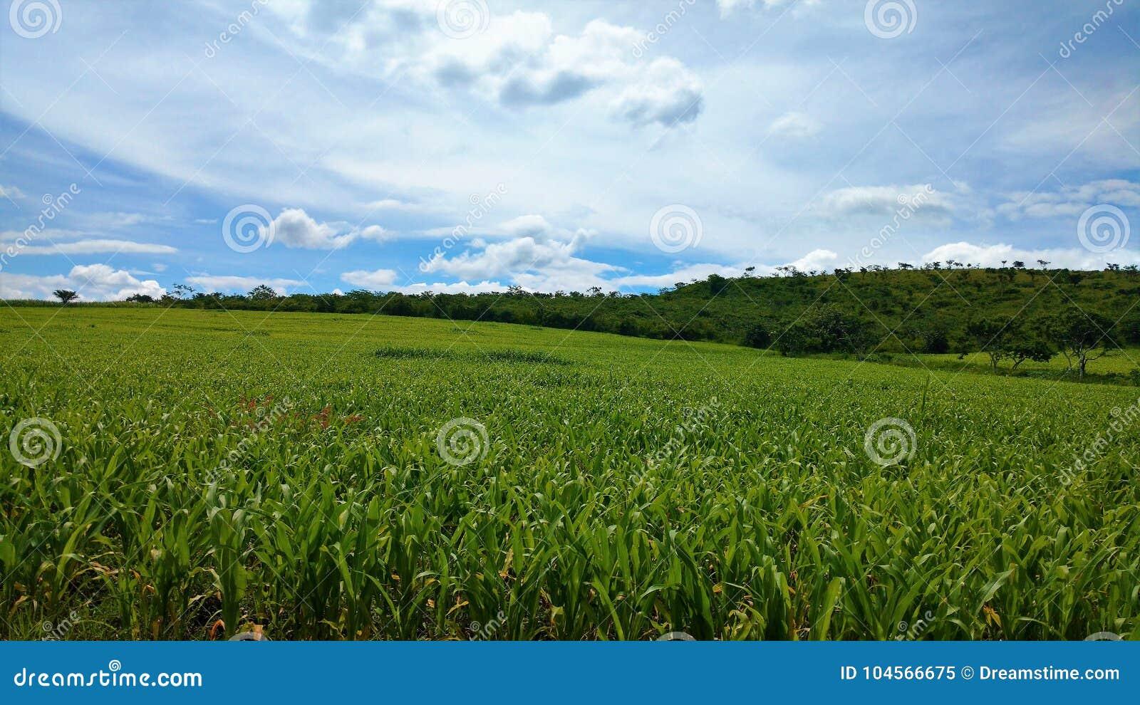 Corn crop under blue sky