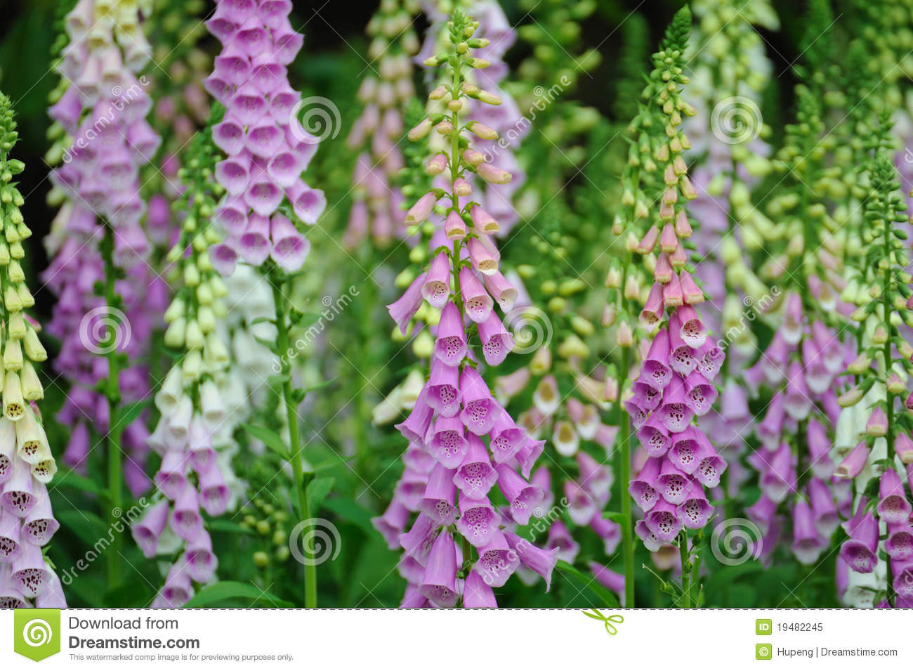 Many Purple Foxglove Flowers Royalty Free Stock Image