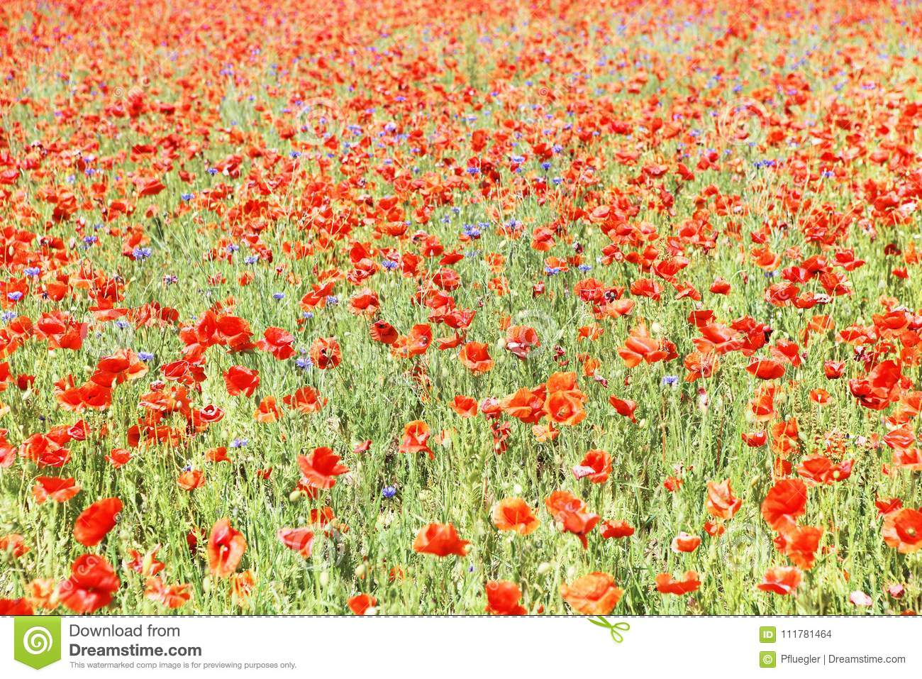 Many red poppies
