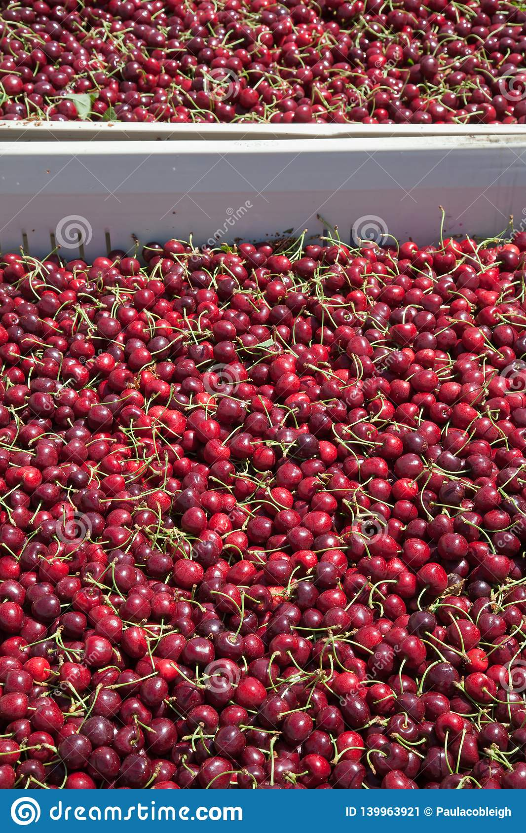 Many red ripe cherries in a bin ready to be packaged for sale