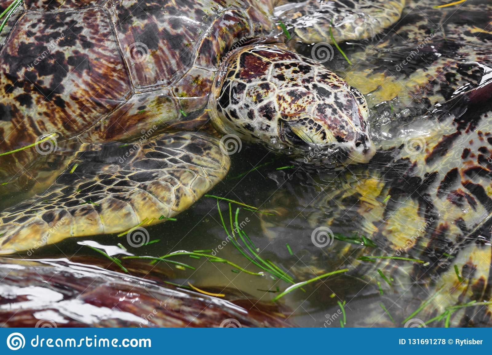 Many Sea Turtles Swimming In The Water Pond And Eating Sea