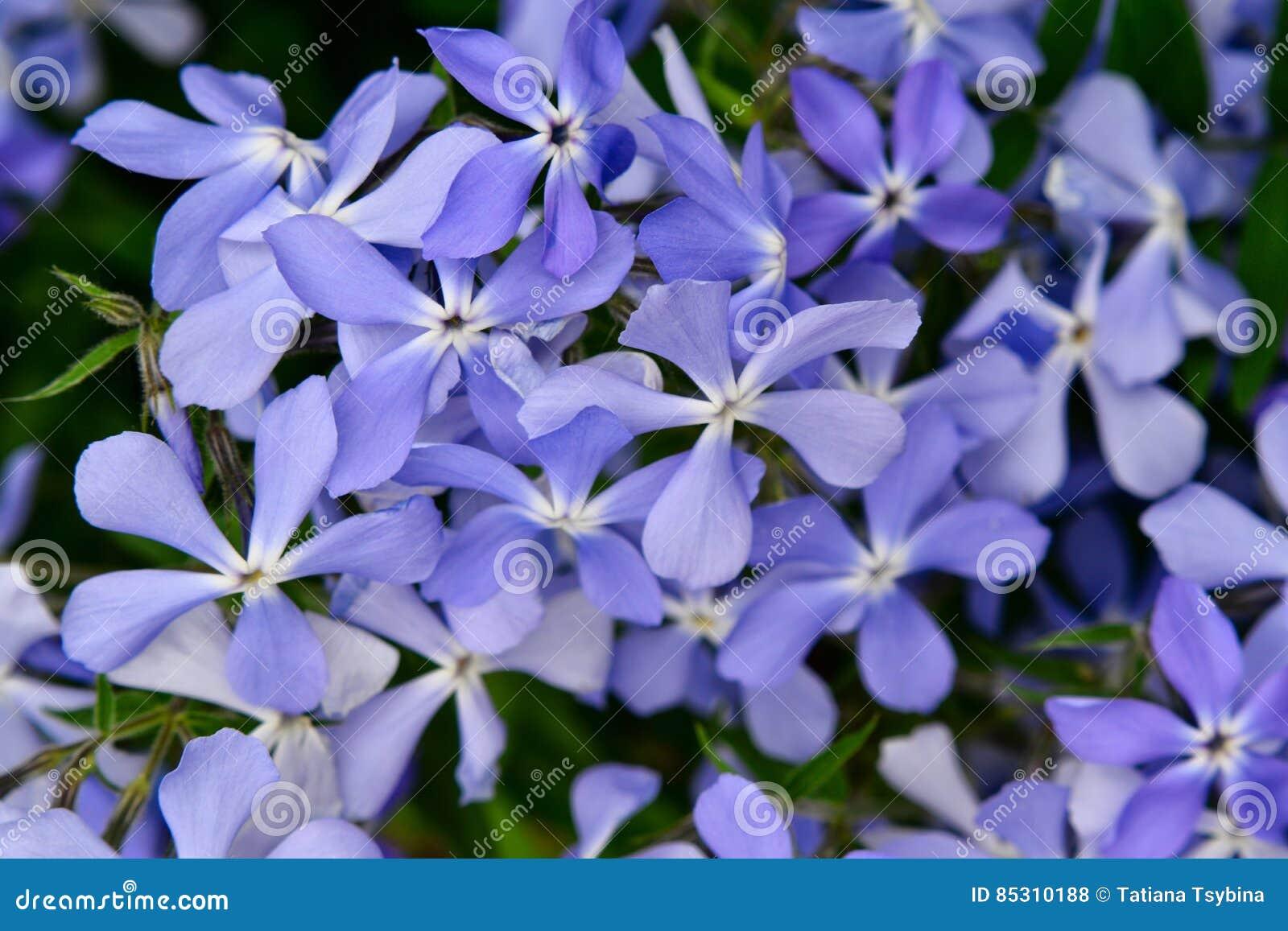 Many Small Flowering Light Purple Flowers Stock Photo Image Of