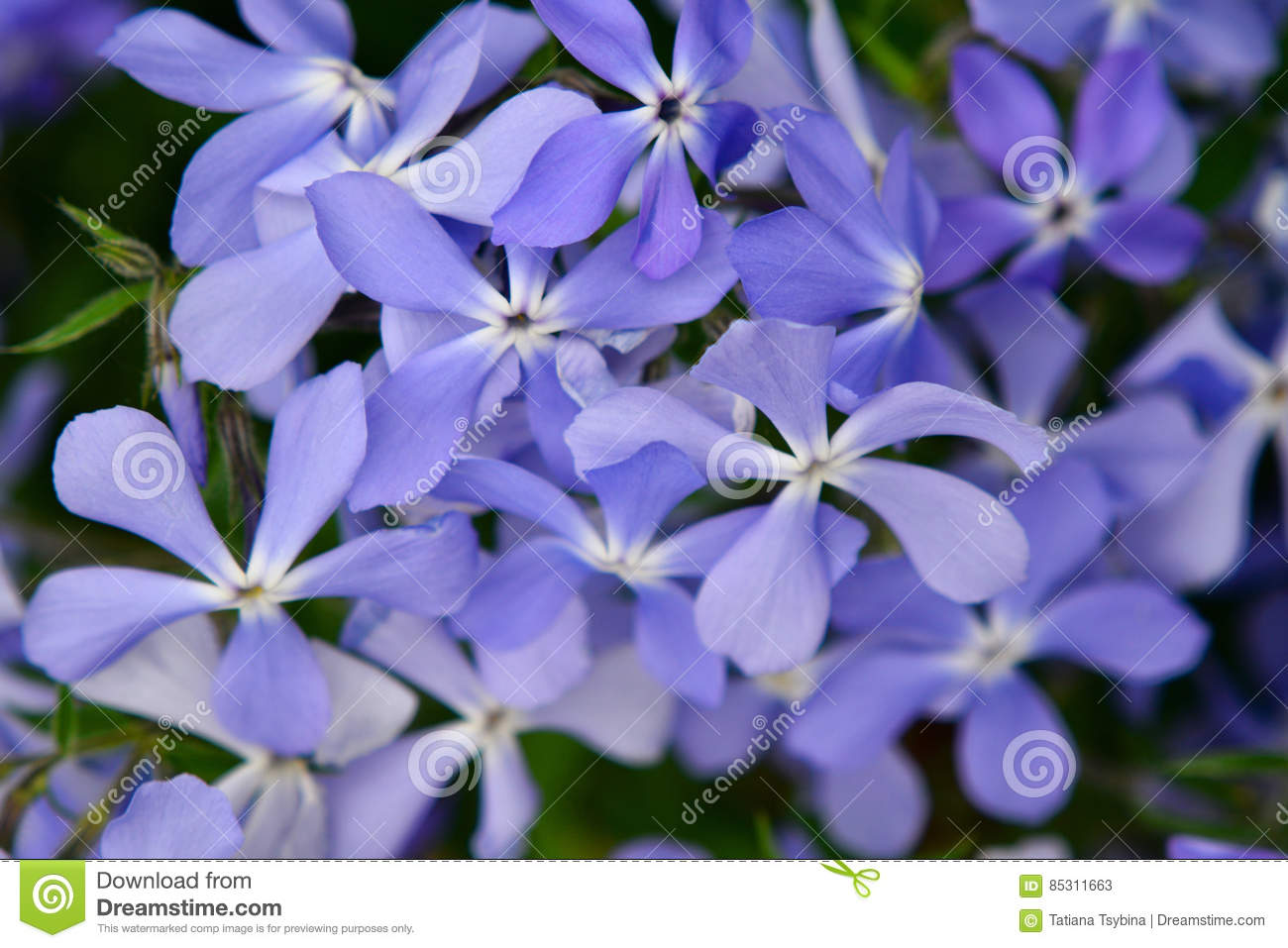 Many Small Flowering Light Purple Flowers Close Up Spring