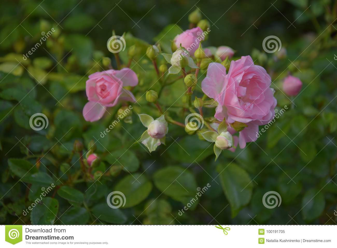 Many Small Pink Roses Blossom On The Bush After Ther Rain Stock