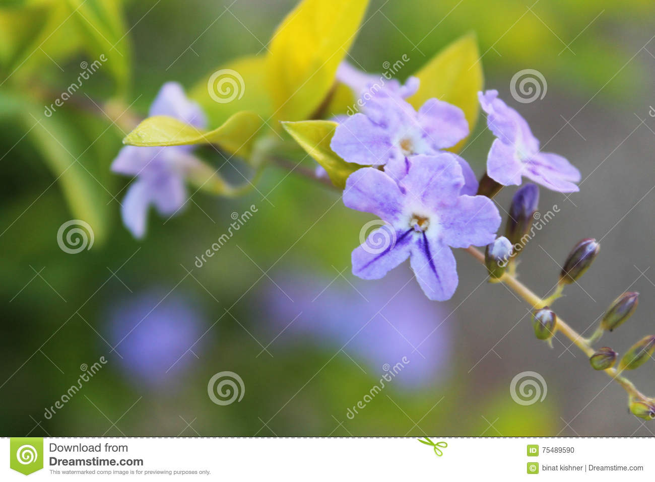 Many Small Purple Flowers Growing On A Tree Stock Photo Image Of