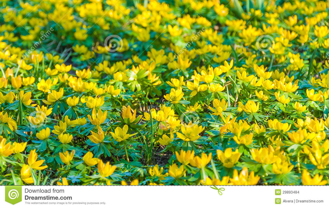 Stock Images: Yellow flowers Eranthis hyemalis. Image: 29893484