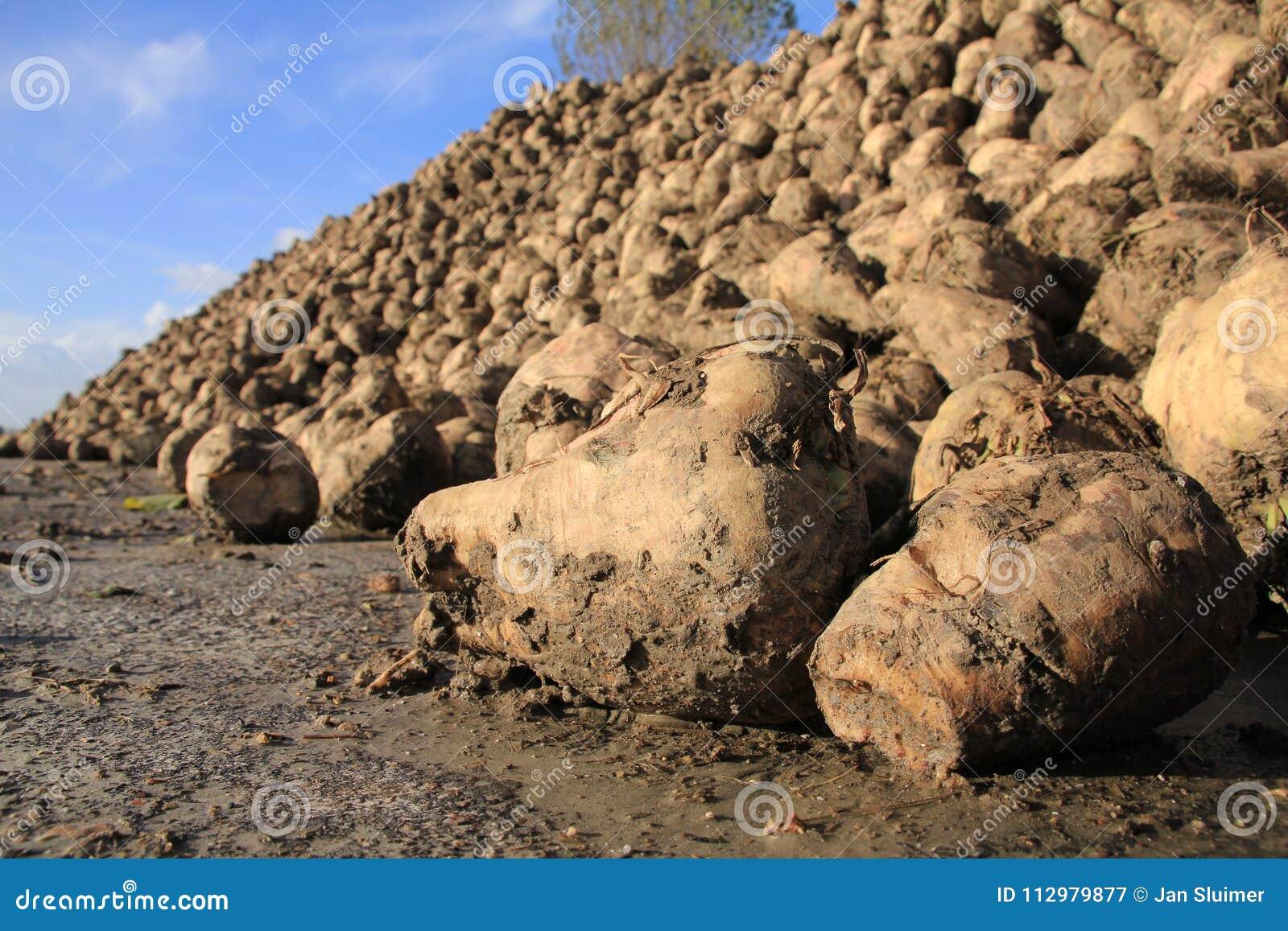 Many sugar beets on a heap.