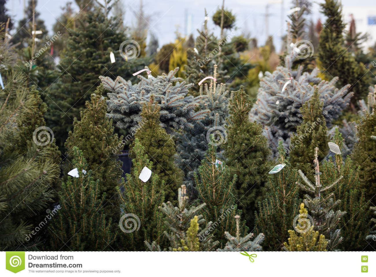 Many Types Of Christmas Trees For Sale Stock Photo - Image of label ...