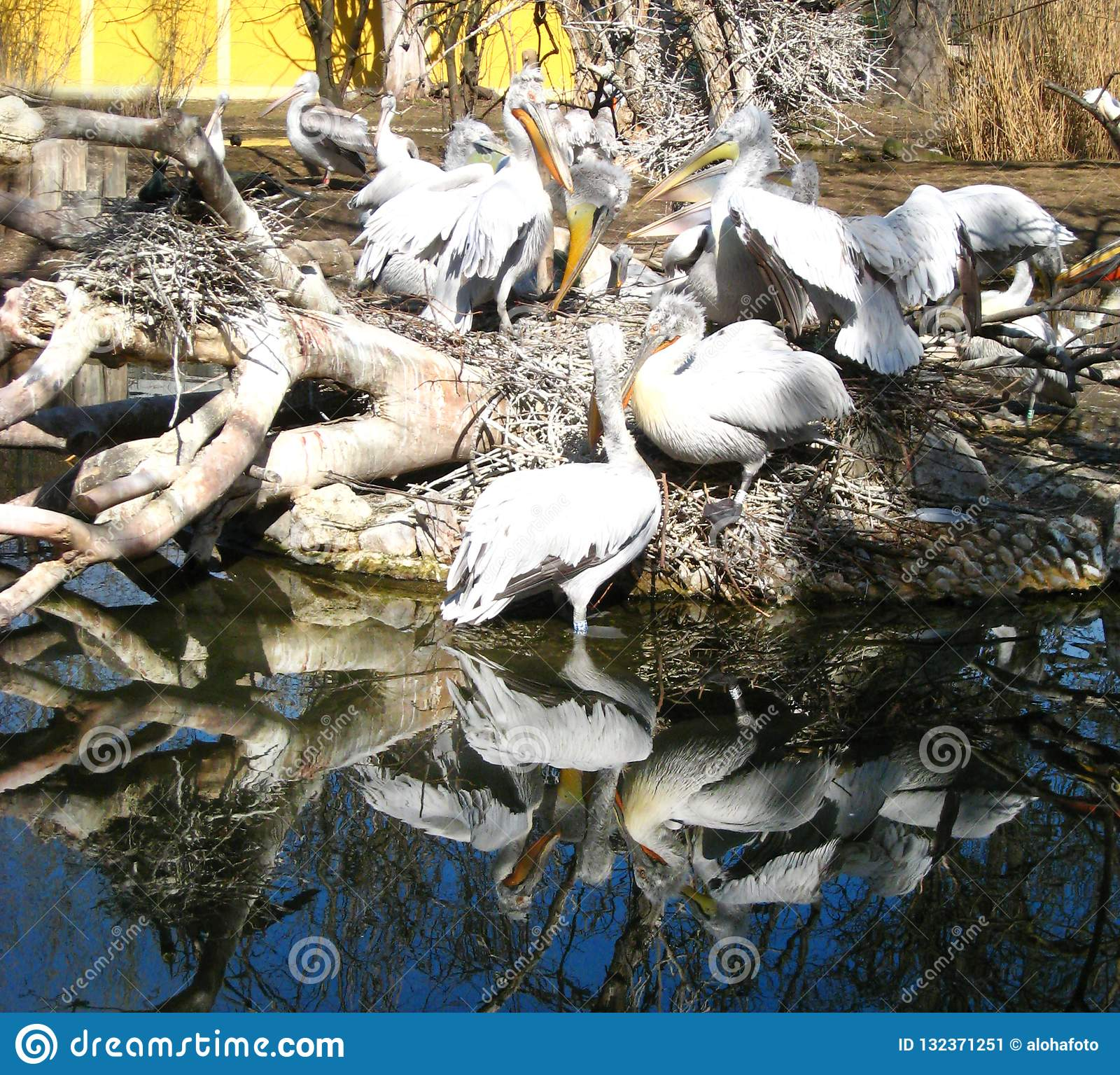 Many white black pelicans with yellow beaks are reflected in the deep blue water