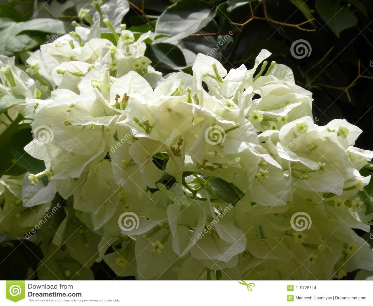 Many white color bougainvillea flowers and ornamental vines stock many white color bougainvillea flowers and ornamental vines mightylinksfo