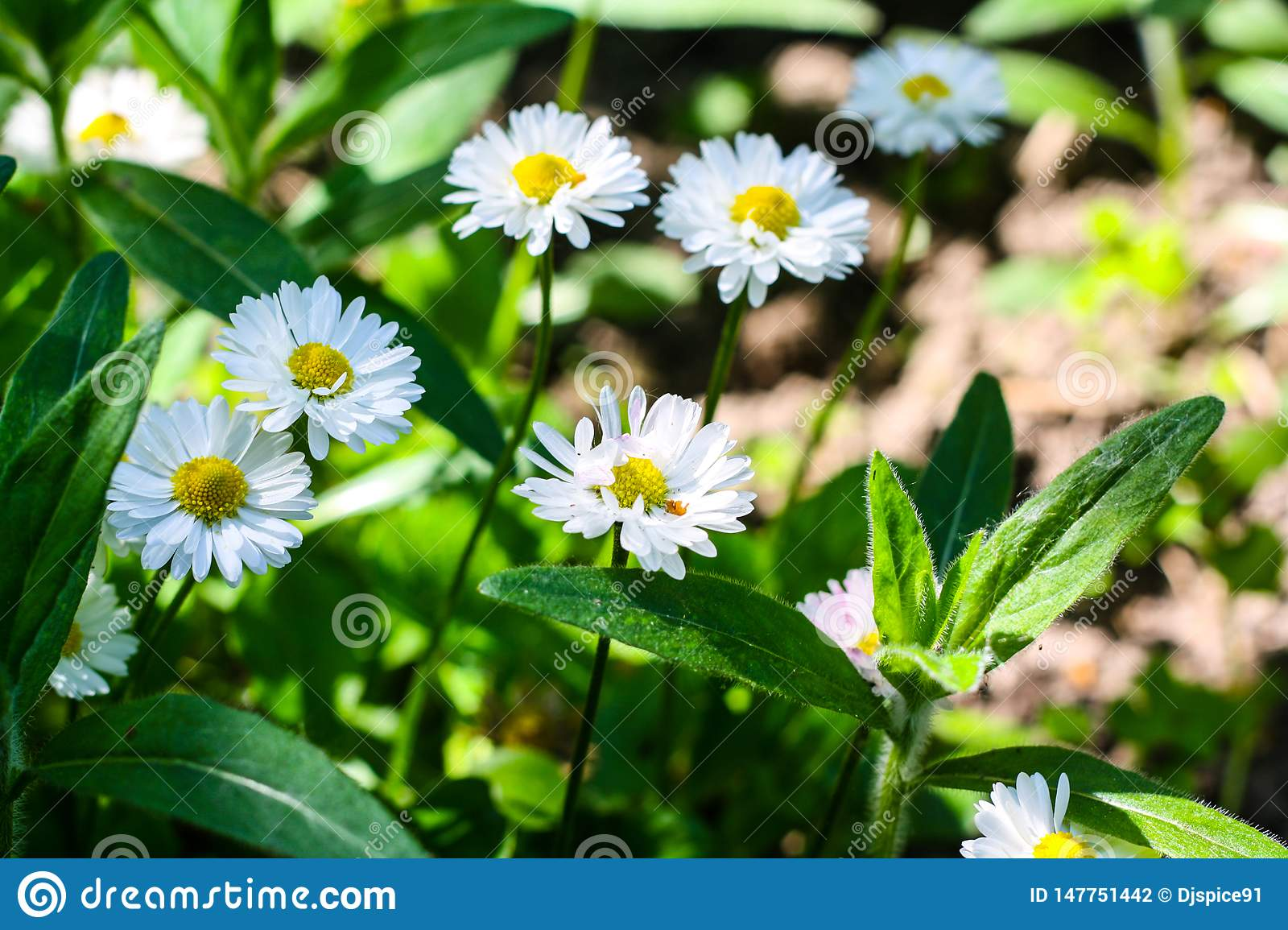 Many white daisies in the sun