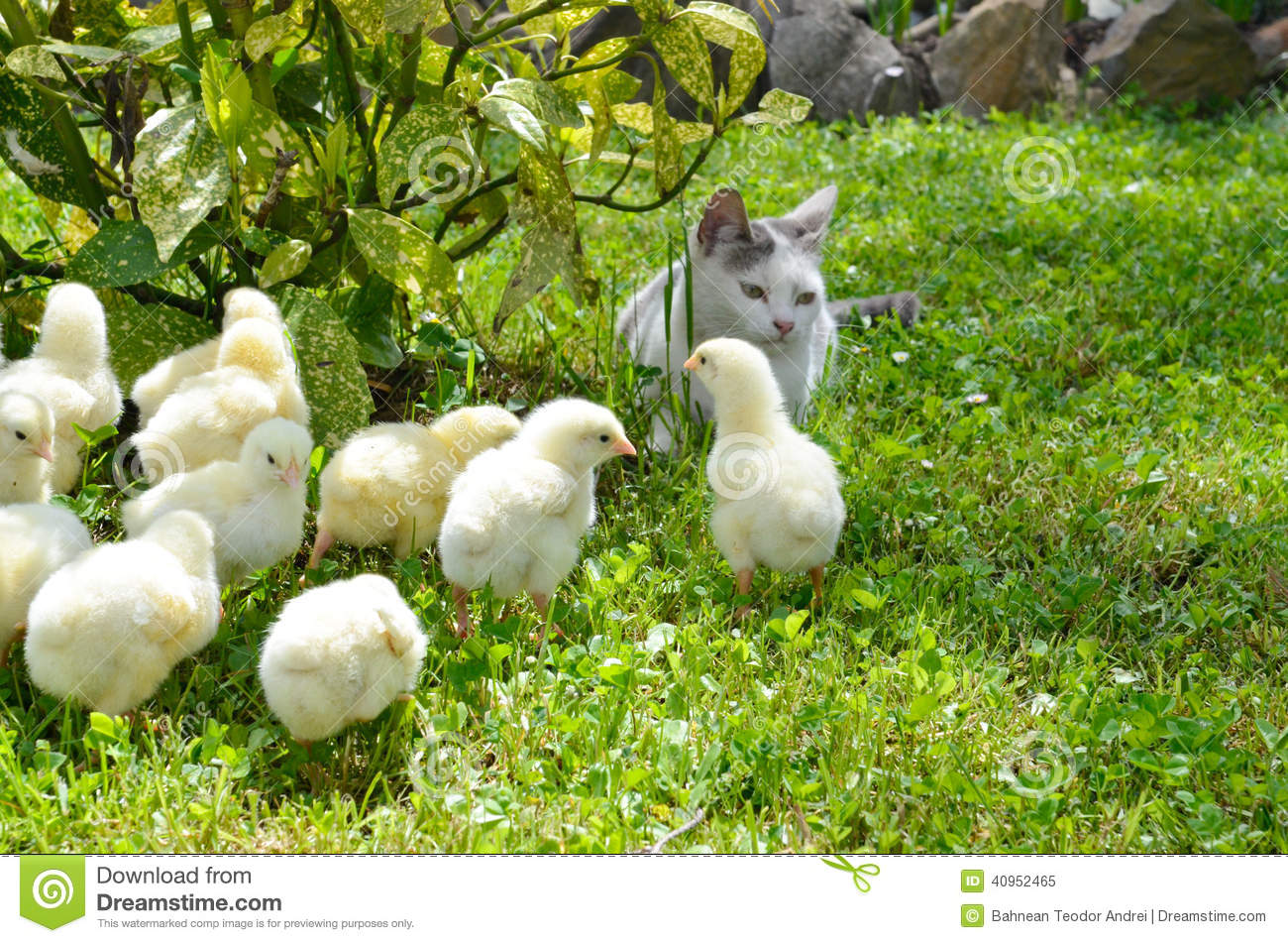 Many yellow chickens
