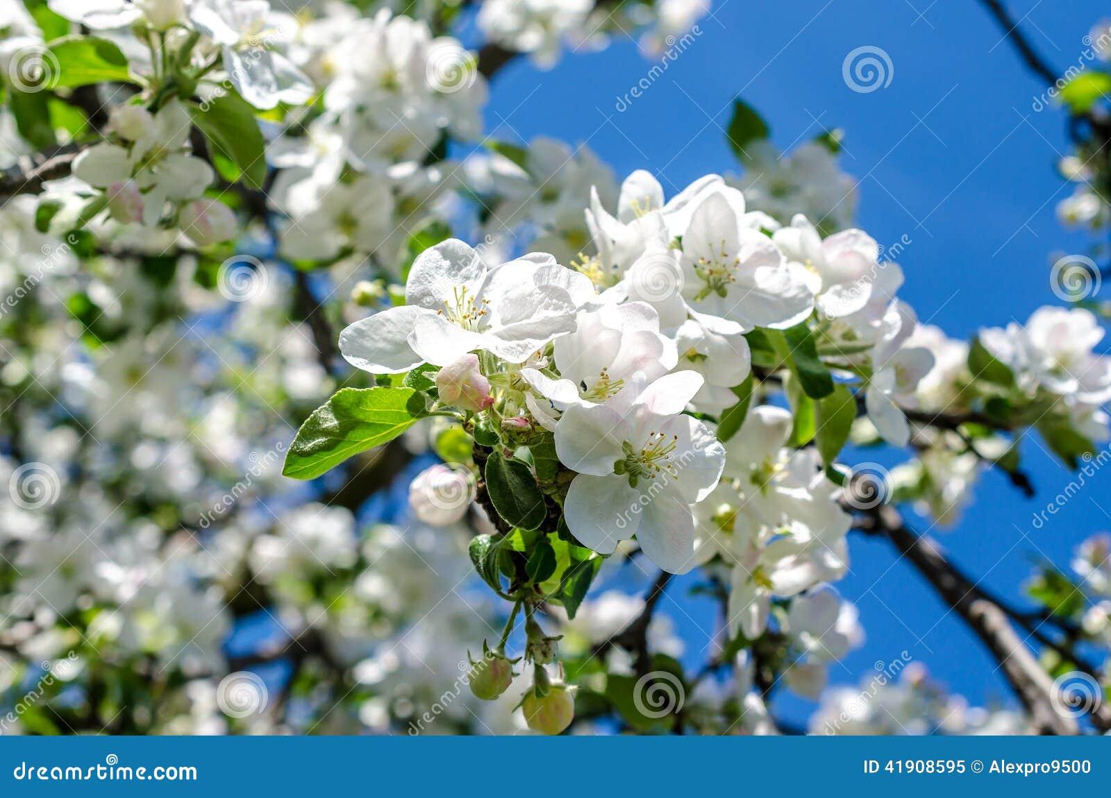 Manzana-árbol floreciente