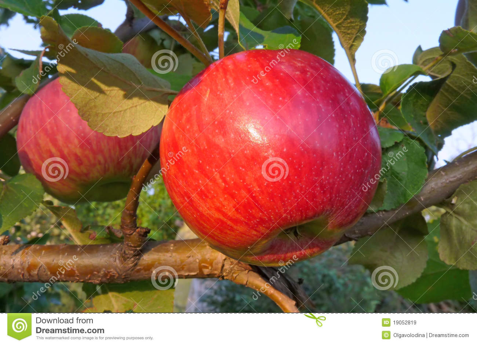 Manzana madura roja en el árbol