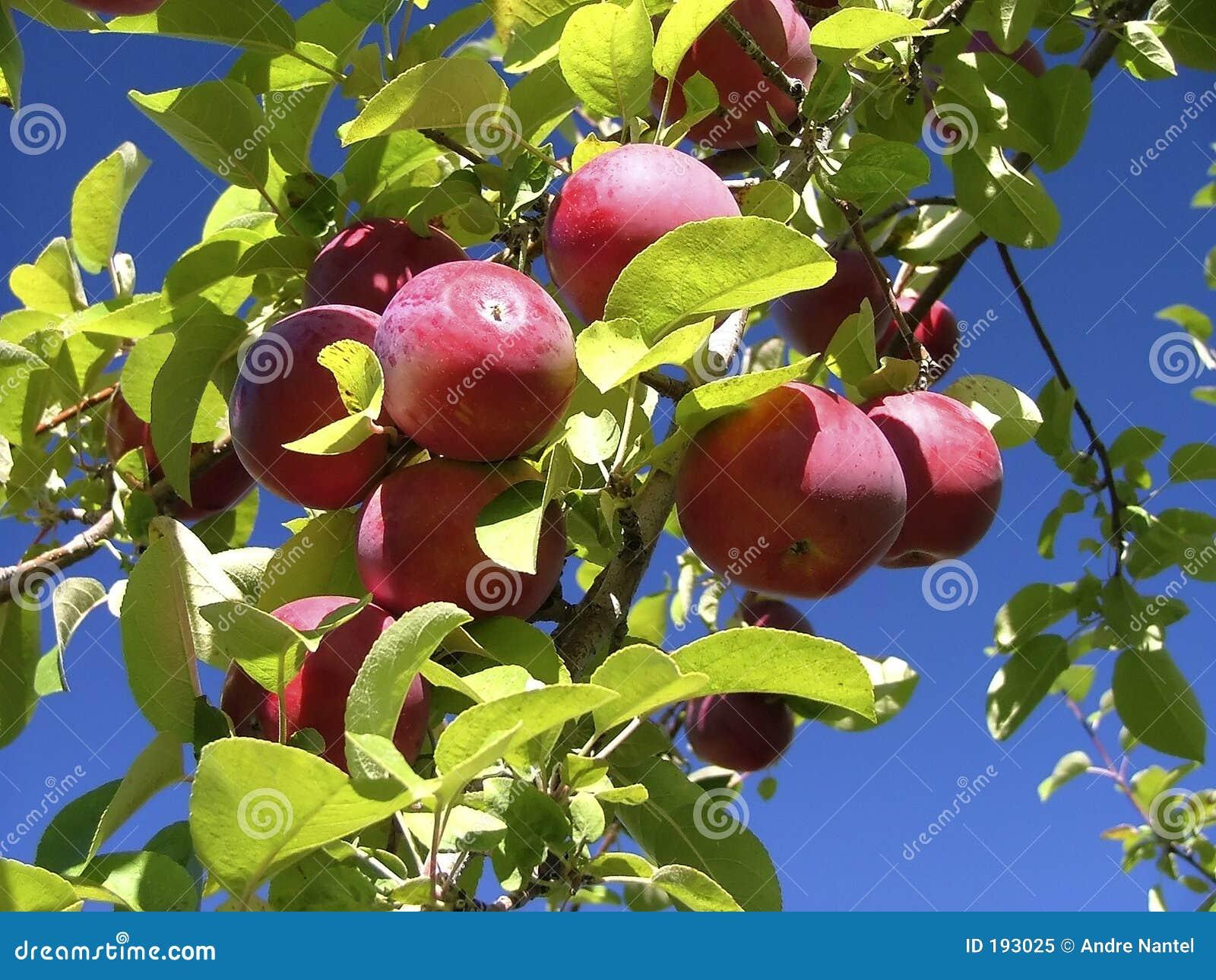 Manzanas crecientes y cielo azul