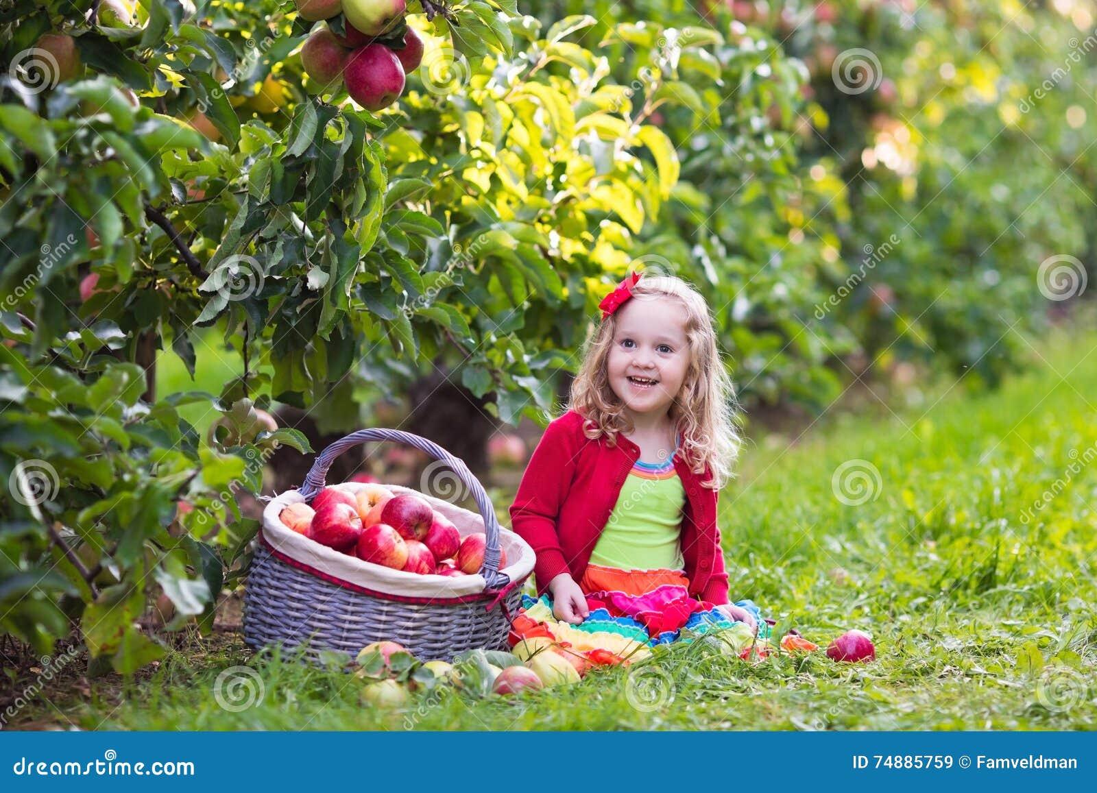 Manzanas de la cosecha de la niña del árbol en una huerta de fruta