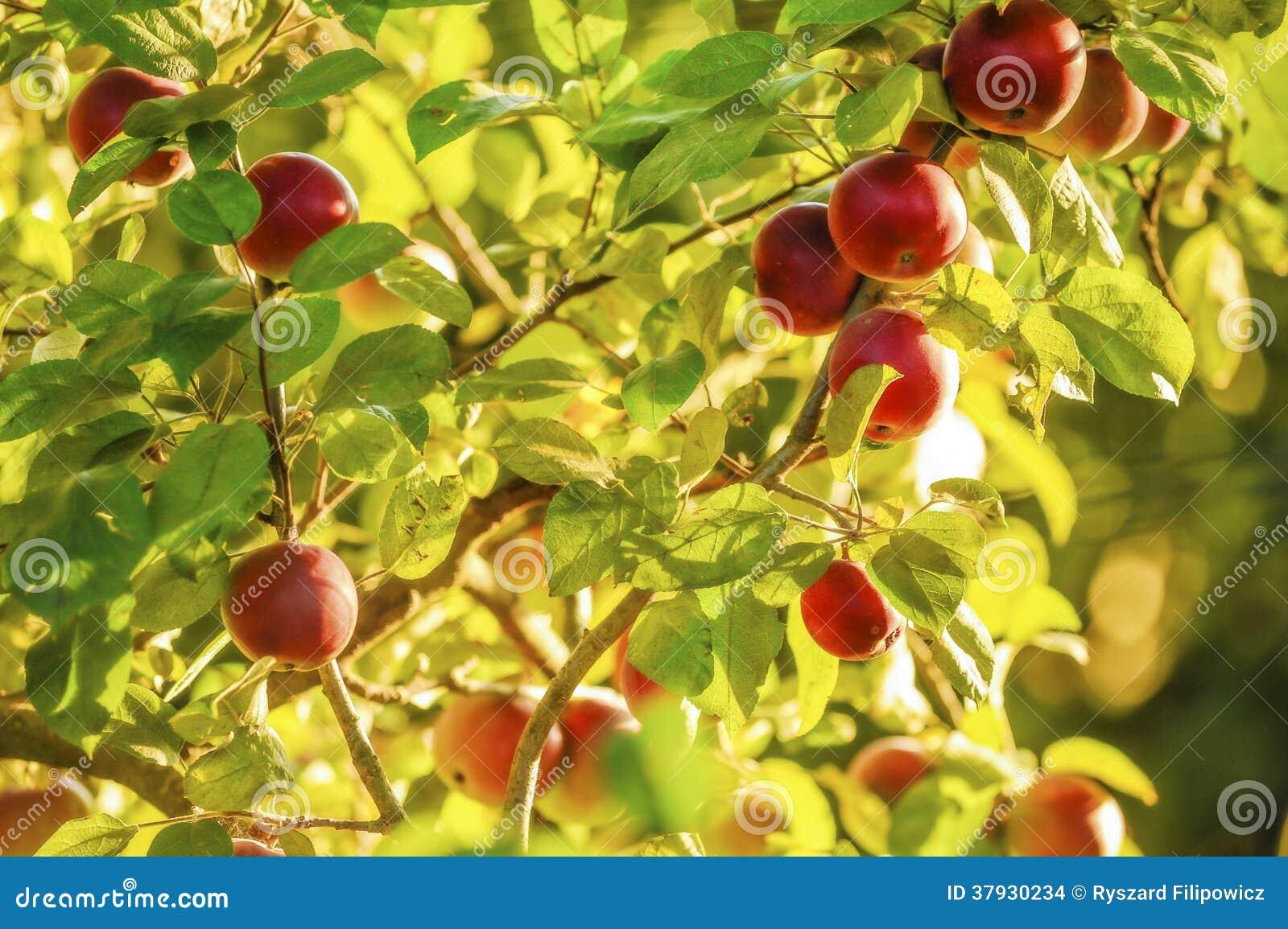 Manzanas en árbol.