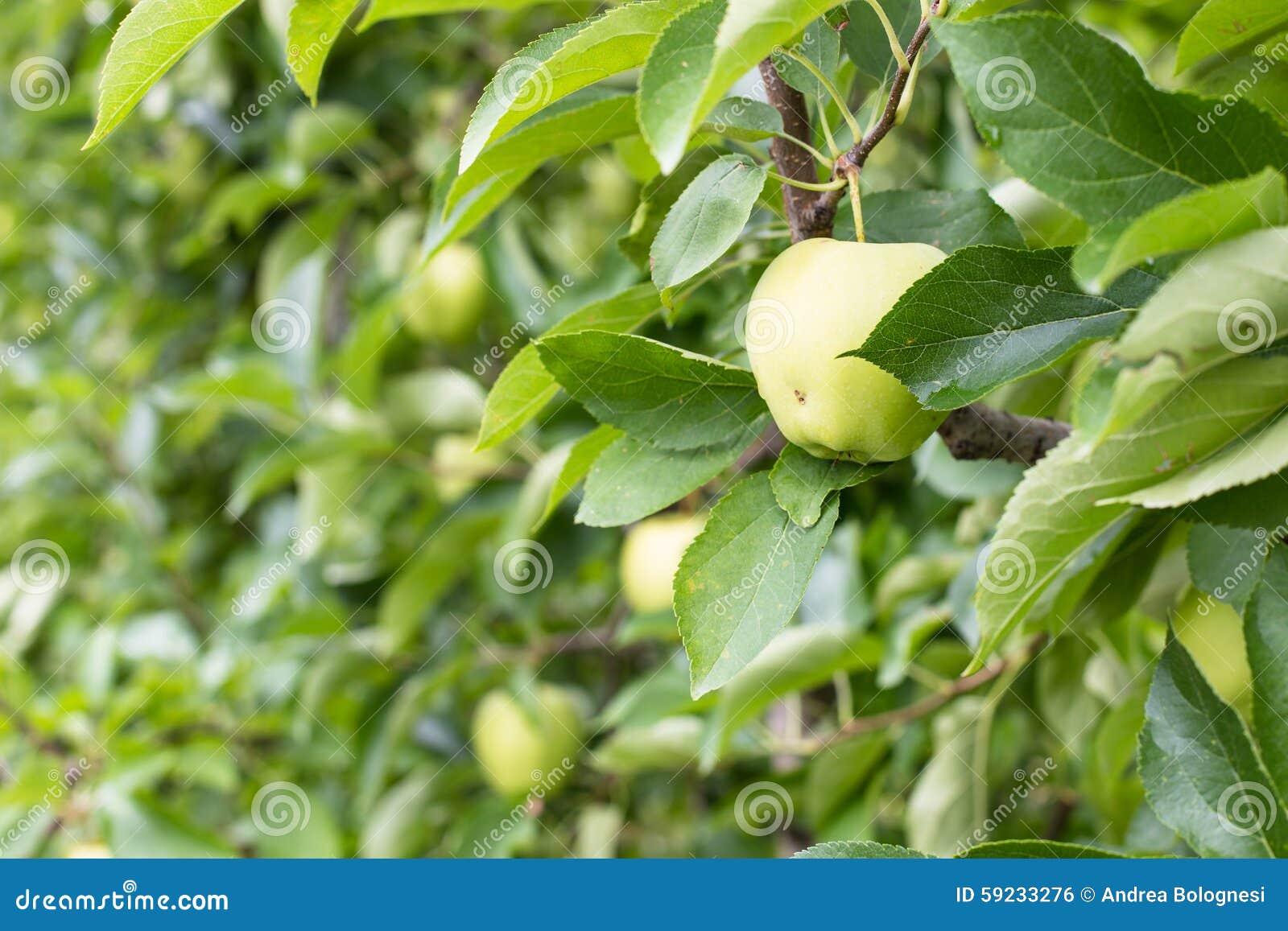 Manzanas en huertas de la montaña de Italia