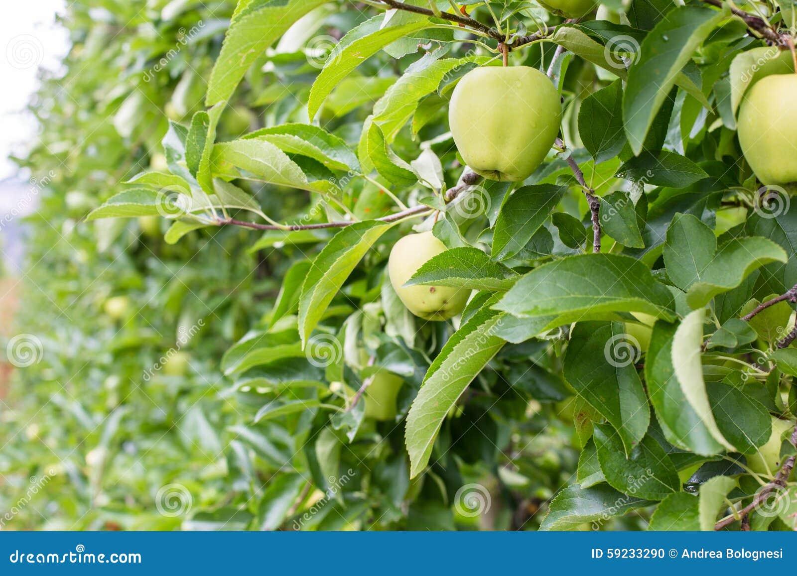 Download Manzanas En Huertas De La Montaña De Italia Foto de archivo - Imagen de hombre, opción: 59233290