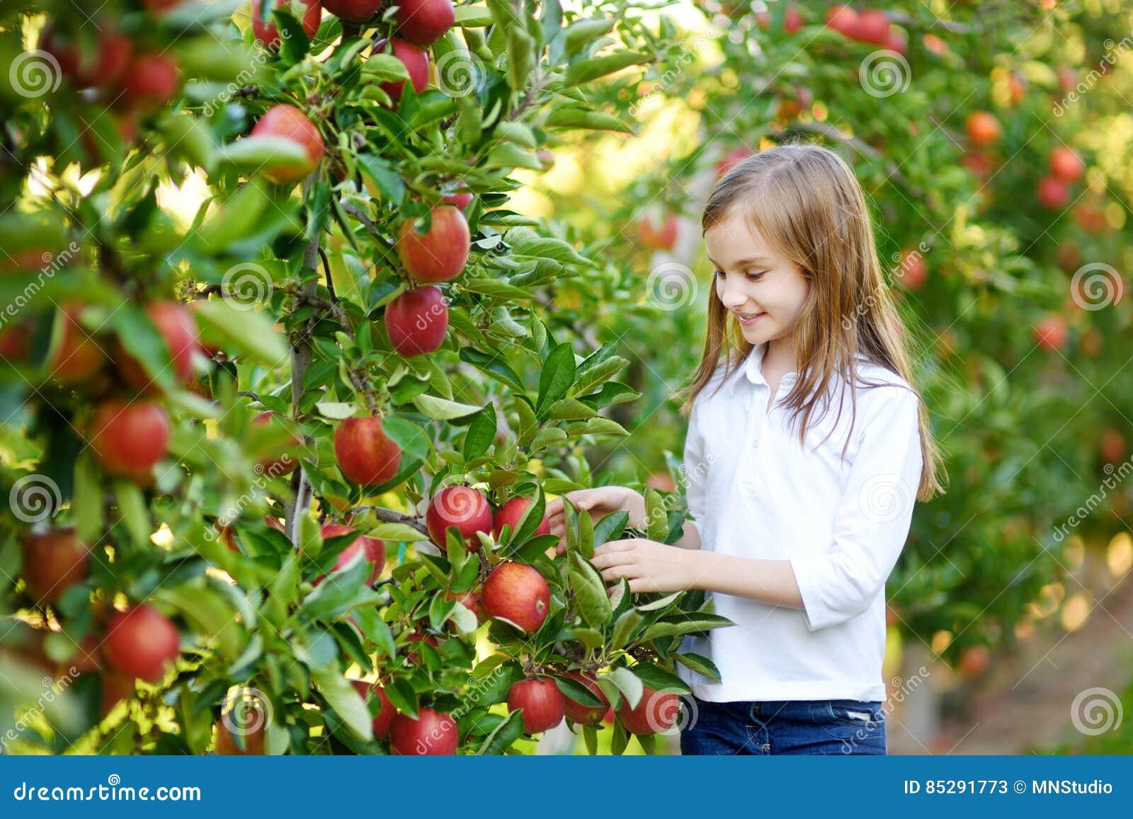 Manzanas lindas de la cosecha de la niña en huerta del manzano