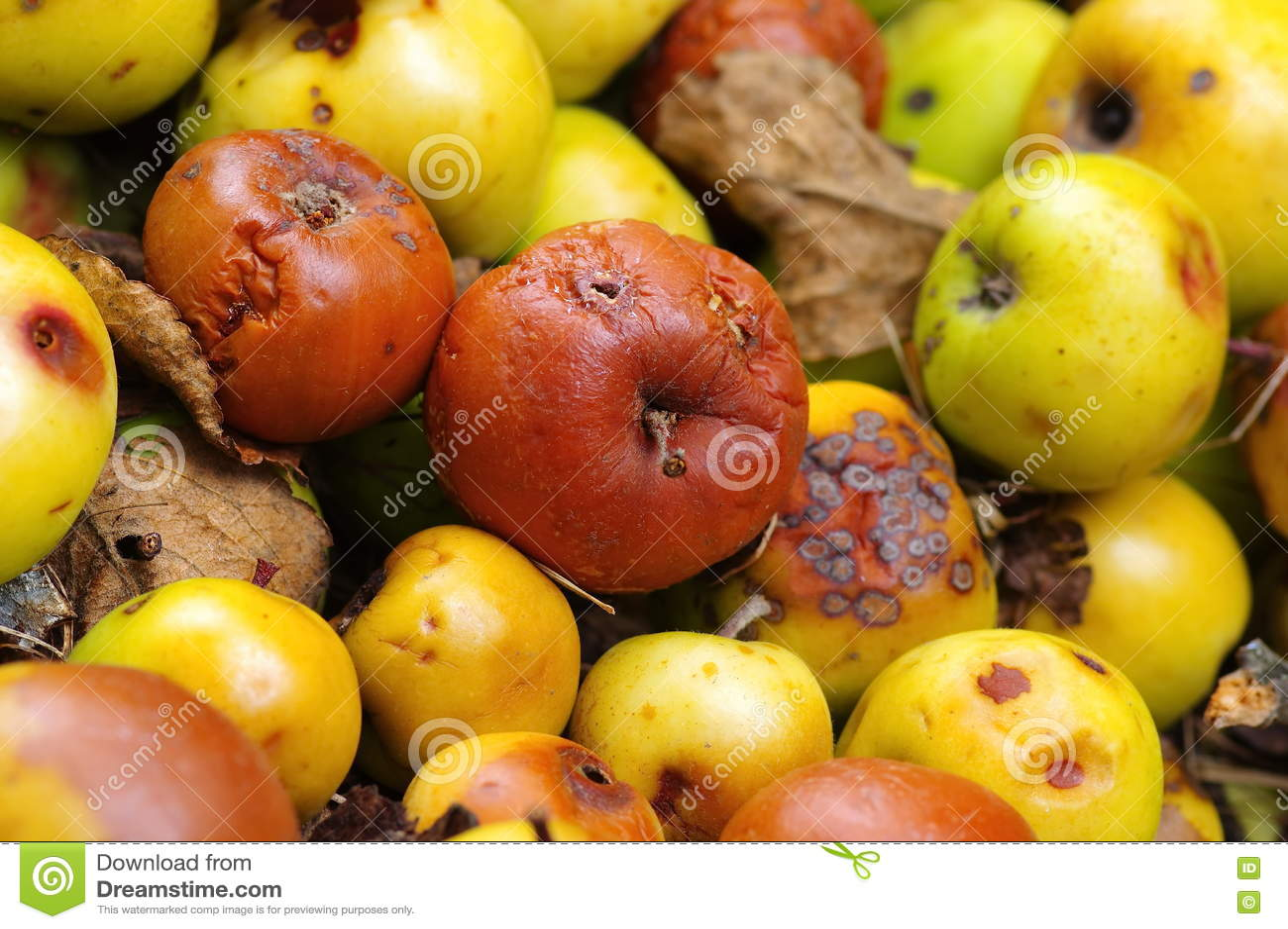Manzanas putrefactas