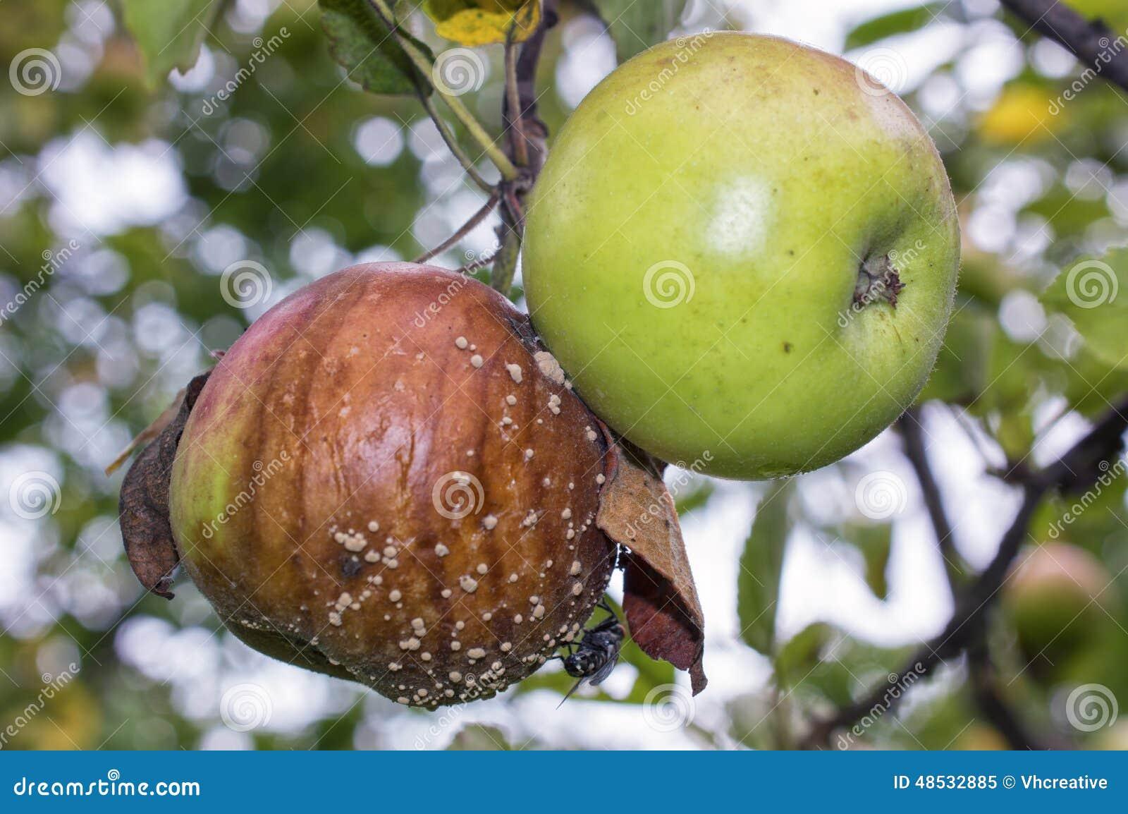 Manzanas Verdes Y Putrefactas Con La Carne-mosca Y El Molde En ...