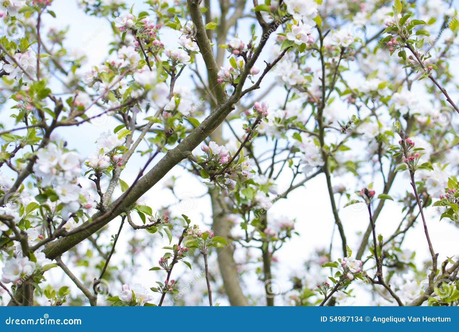 Manzano del flor