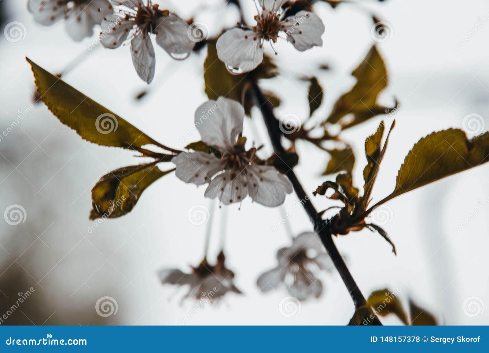 Manzano después de la lluvia, huele fragante