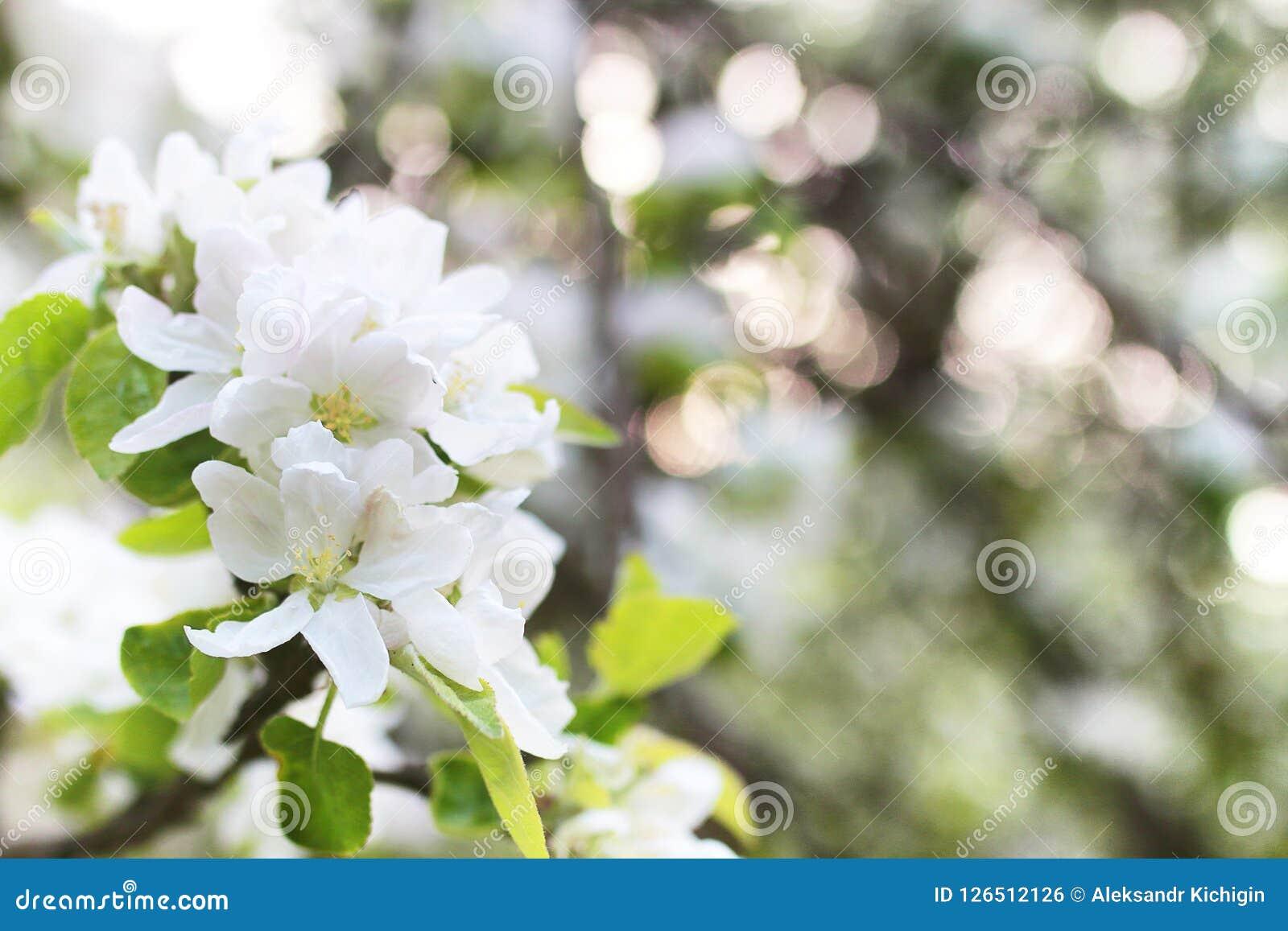 Manzano floreciente de la primavera temprana con las flores blancas brillantes Imagen de archivo libre de regalías