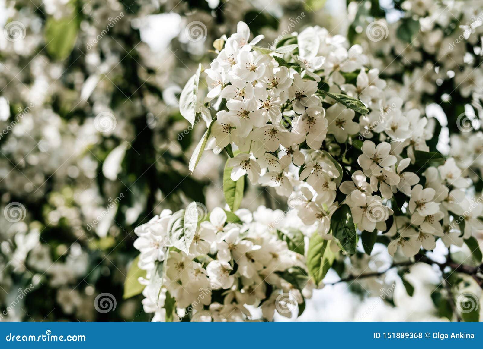 Manzano floreciente - flores de Apple de la foto