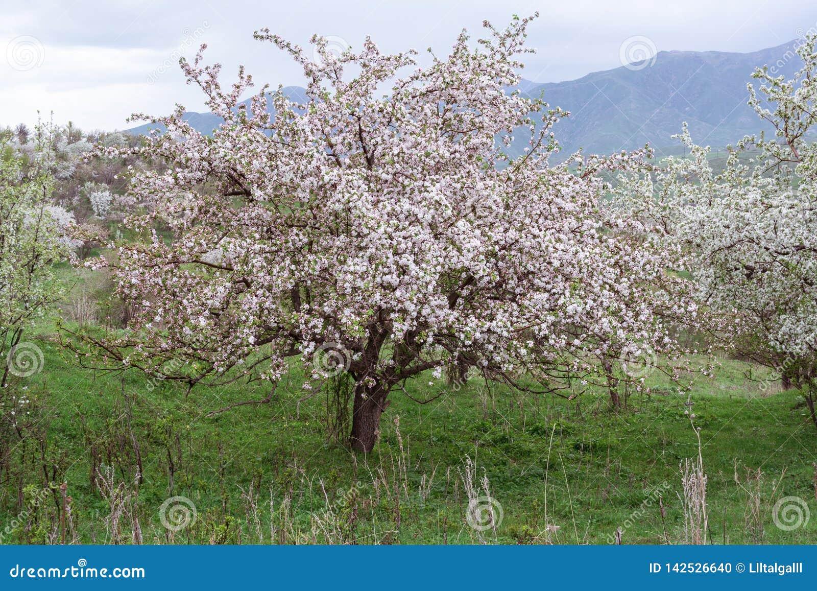 Manzanos florecidos Naturaleza en Tekeli