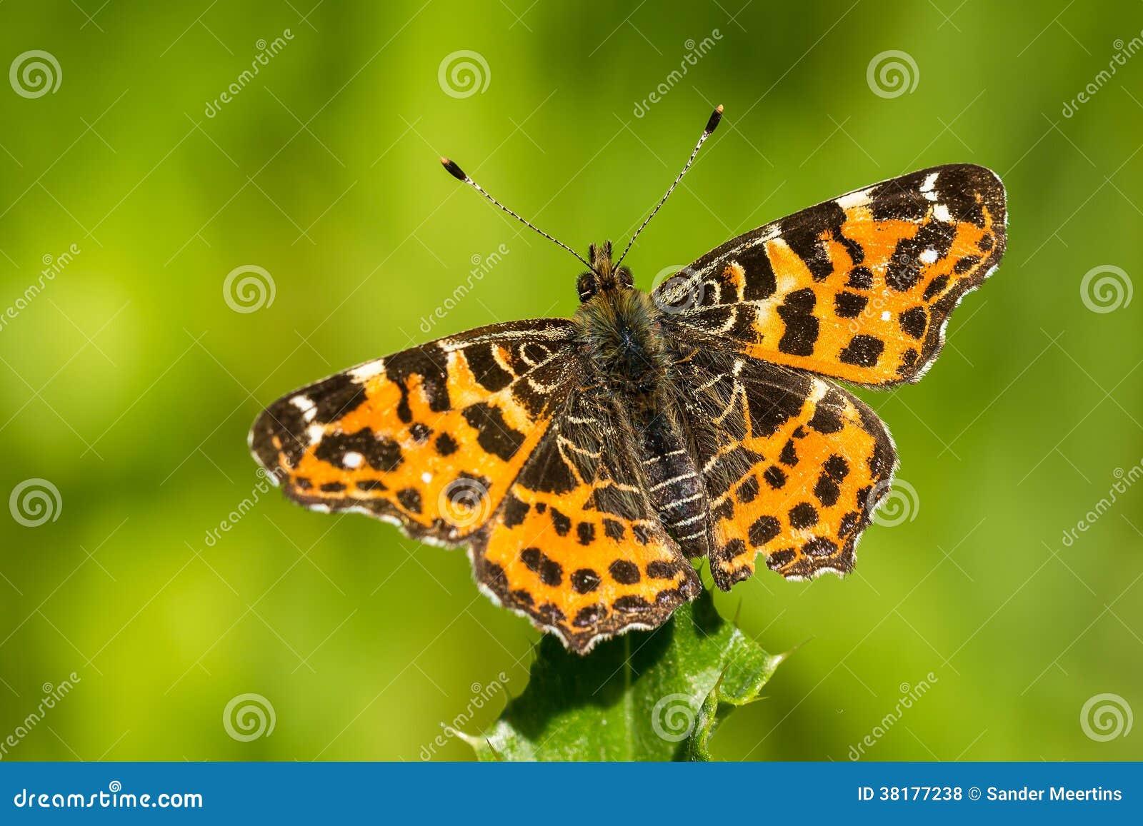 The map butterfly (araschnia levana)