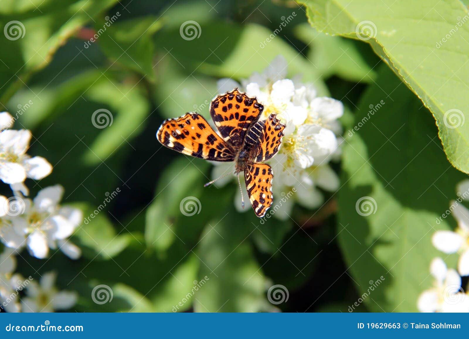 Map Butterfly, Araschnia levana on Prunus Padus