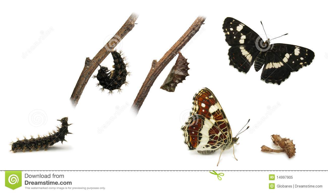 The Map butterfly lifecycle