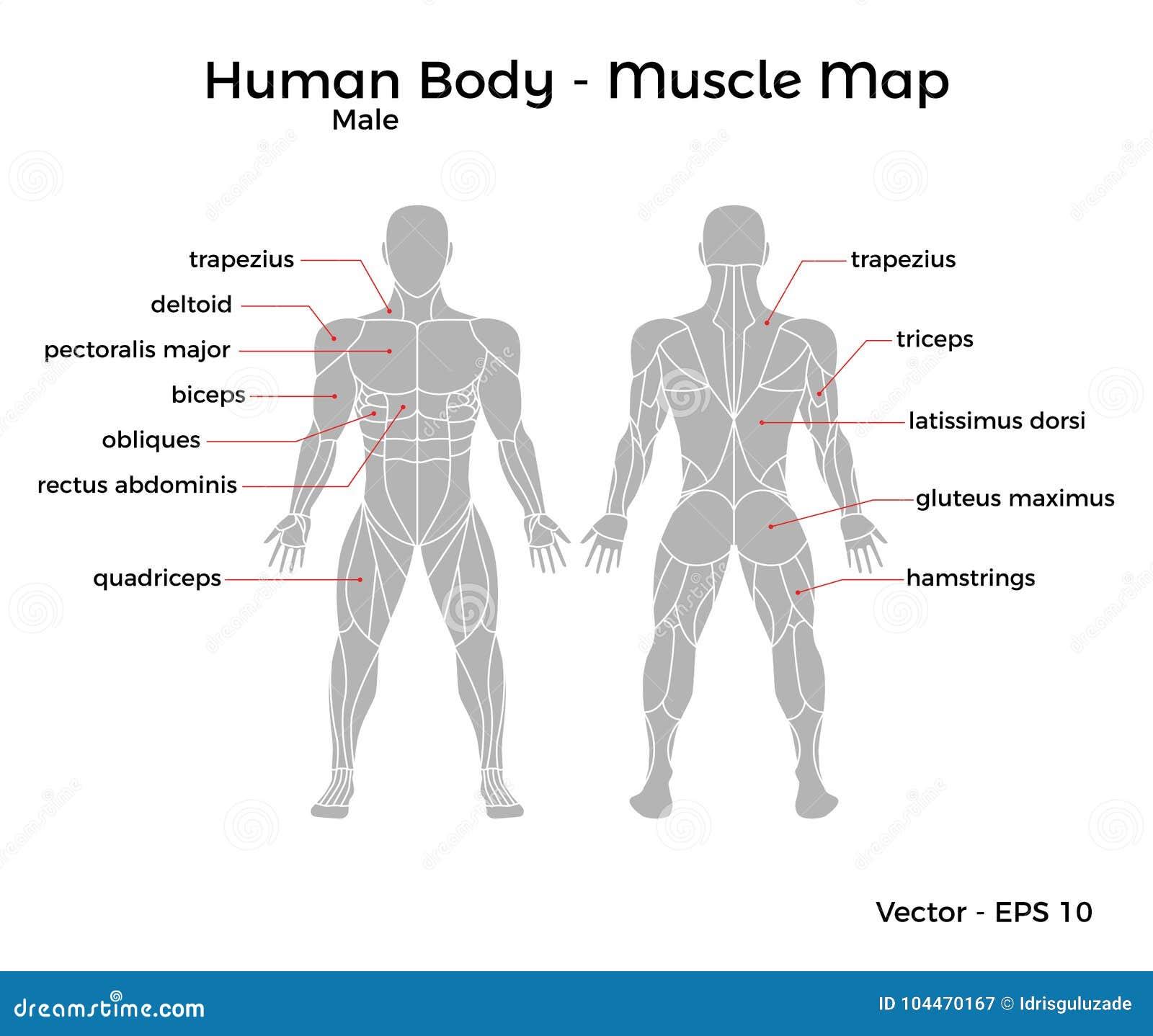 Mapa Masculino Del Músculo Del Cuerpo Humano Ilustración del Vector ...