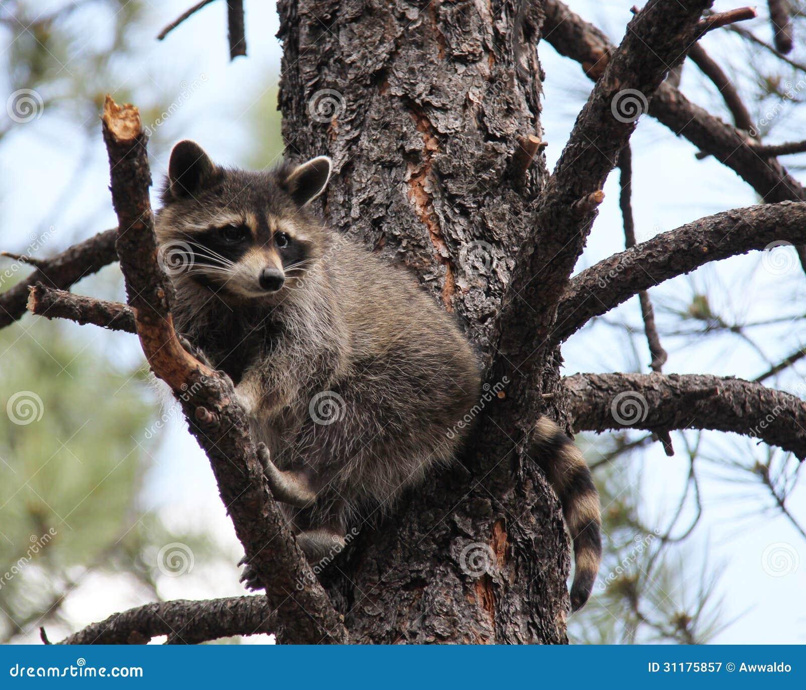 Mapache encima de un árbol